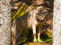 European wolf in the forest Royalty Free Stock Photography