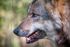 European wolf Stock Photo