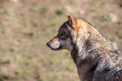 European wolf Stock Photo