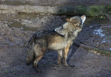 European wolf howling Royalty Free Stock Image