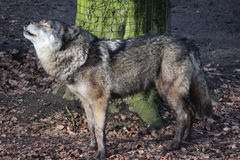 European wolf howling Stock Photos