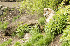 European wolf Stock Images
