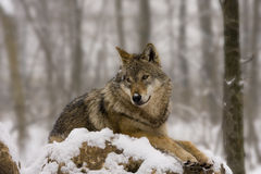 European wolf like a diorama Stock Image