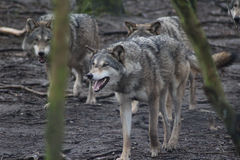 European wolf pack Stock Images