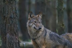 European wolf portrait. Amongst pine trees Royalty Free Stock Photos