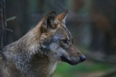 European wolf portrait stock photo