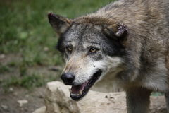 European Wolf with scarred ears Royalty Free Stock Photos