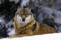 European wolf in snow Royalty Free Stock Photography