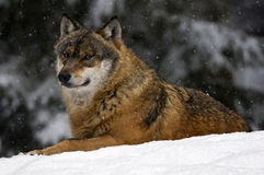 European wolf in snow Stock Photo