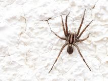 European Wolf Spider or False Tarantula Hogna radiata. Macro. On white wall. European Wolf Spider or False Tarantula Hogna radiata. Macro. On wall stock photo
