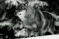 European Wolf in Winter. Black and white closeup of European Wolf in Winter with trees in background Stock Photos