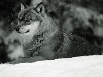 European Wolf in Winter Stock Images