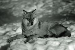 European Wolf in Winter Stock Photo