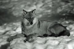 European Wolf in Winter Stock Photo