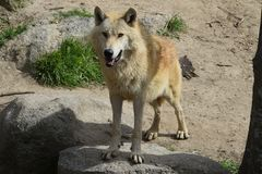 European wolf zoo madrid stock image