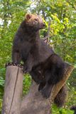 European wolverine. Gulo gulo gulo in the woods royalty free stock image