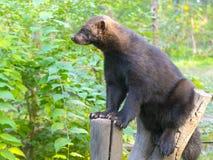 European wolverine on a tree stock photos