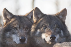 European wolves. Royalty Free Stock Image
