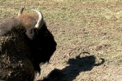 European bisons head and its shadow stock photo