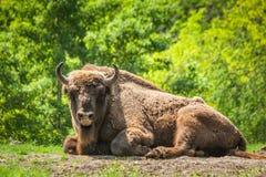 The European wood bison Bison bonasus royalty free stock photos