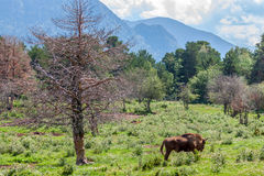 European Wood bison Royalty Free Stock Image