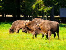 European wood bison herd Royalty Free Stock Images