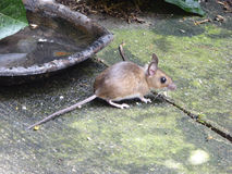 European Wood Mouse on Terrace - Apodemus sylvaticus Royalty Free Stock Photography