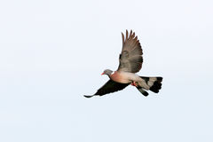 European wood pigeon in flight Stock Photography