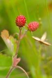 European wood wild strawberry, Royalty Free Stock Photos