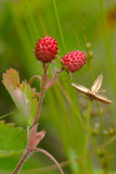 European wood wild strawberry, Fragaria vesca.  stock images