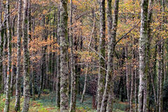 European Woods during autumn Royalty Free Stock Photography