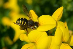 Carder Bee - Anthidium oblongatum. Carder Bee collecting nectar from a yellow Birdsfoot Trefoil flower. Todmorden Mills Park, Toronto, Ontario, Canada Royalty Free Stock Photos