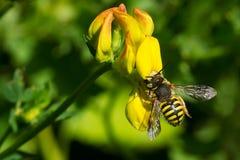 Carder Bee - Anthidium oblongatum. Carder Bee collecting nectar from a yellow Birdsfoot Trefoil flower. Todmorden Mills Park, Toronto, Ontario, Canada Stock Photo