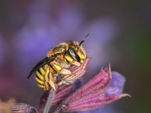 European wool carder bee sitting on a purple flower royalty free stock images