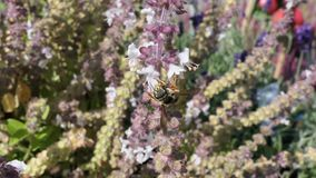 European wool carder bee on blooming basil herb. Wild solitary bee stock video