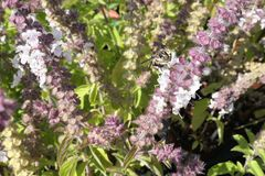 European wool carder bee on blooming basil herb. wild solitary b. Ee stock images