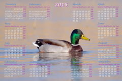European 2015 year calendar with male mallard duck. On water Stock Photos