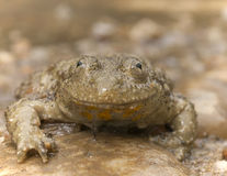 European yellow-bellied toad Stock Image