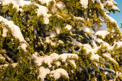 European Yew covered with snow Royalty Free Stock Photography
