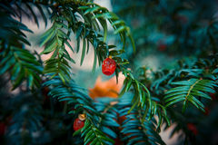 European yew red berries Royalty Free Stock Photo