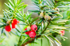 European yew. (Taxus baccata) branches with leaves and arils stock photo