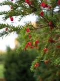 European yew tree Stock Photo
