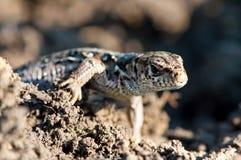 European young baby lizard climbing through dirt Royalty Free Stock Photos