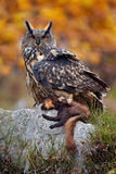 Europees-Aziatisch Eagle met doden De foto van de uilherfst Eagle Owl in de aard boshabitat Het wild van aard met uil Grote Europ royalty-vrije stock foto's
