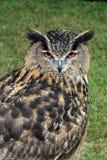 Europees-Aziatisch Eagle Owl Royalty-vrije Stock Foto