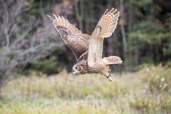 Europees-Aziatisch Eagle Owl stock afbeelding