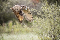 Europees-Aziatisch Eagle Owl royalty-vrije stock afbeelding