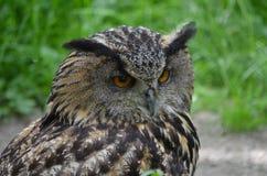 Europees-Aziatisch Eagle Owl (Bubo-bubo) stock afbeelding