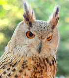 Europees-Aziatisch Eagle-Owl Bubo-buboclose-up royalty-vrije stock foto's