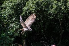 Europees-Aziatisch Eagle Owl, Bubo-bubo in een Duits aardpark stock fotografie
